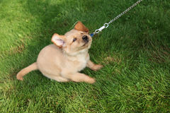 Stubborn dog. A resistance puppy tugs on his leash- no royalty free stock images