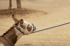 Stubborn donkey. A miniature donkey being pulled on a rope is not cooperating Stock Photography