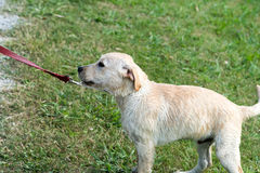 Stubborn Puppy Refuses to Walk. A stubborn Labrador Retriever puppy pulls backwards on leash, refusing to walk Stock Image