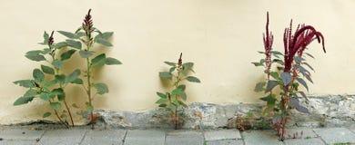 Stubborn urban plants grow through asphalt and concrete. Near the walls of buildings Royalty Free Stock Image