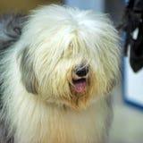 Stubbsvansad engelsk fårhund royaltyfri bild