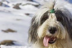 Stubbsvansad engelsk fårhund Arkivbild