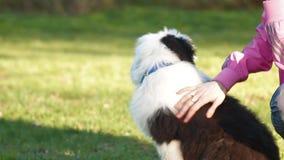 Stubbsvansad engelsk fårhundvalp
