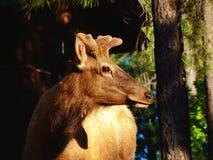 Stubby Elk Stock Images