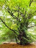 Stubby Green Tree Stock Image