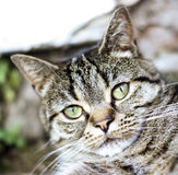 Stubby nose tabby cat Royalty Free Stock Photo