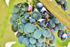 Stubenfliege auf blauen Trauben Stockfotos