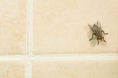 Stubenfliege auf gelbem Fliesenboden Stockfoto