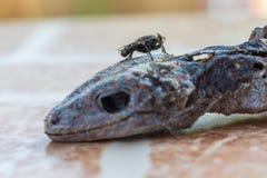 Stubenfliege auf Kopf des Geckos ist tote und trockene Haut lizenzfreie stockfotos