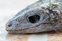 Stubenfliege auf Kopf des Geckos ist tote und trockene Haut stockfoto