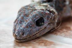 Stubenfliege auf Kopf des Geckos ist tote und trockene Haut lizenzfreie stockbilder