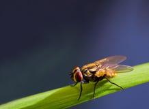 Stubenfliege nah oben auf grünem Gras, Drosophile-Fliegen-Insektenmakro Stockbilder