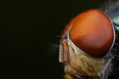 Stubenfliegen-Augen Stockbilder