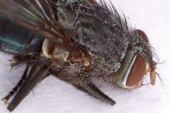 Stubenfliegen-Hauptmakro Lizenzfreie Stockfotografie