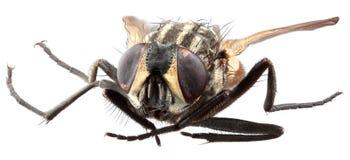 Stubenfliegen-Makroabschluß herauf Ausschnitt Stockfotos