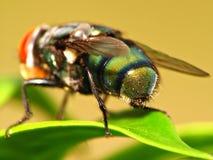 Stubenfliegen-Rückseiten-Detail Lizenzfreie Stockbilder