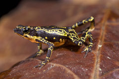 Stubfoot toad, Atelopus spumarius. The Stubfoot toad, Atelopus spumarius, is a brightly colored poisonous toad species found in the northern Amazon Royalty Free Stock Photo