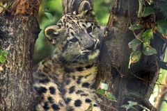 Stuck. A snow leopard (panthera uncia) cub up in a tree Royalty Free Stock Photography