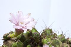 Stuck on a cactus. stock image