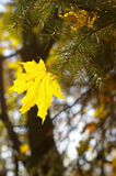 Stuck yellow leaf Stock Image