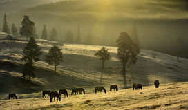 Stud Farm Grazing in Morning Light Stock Photo