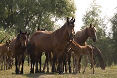 Stud of horses. The Herd of the horses on edge of a forest wood. Summer day Royalty Free Stock Photos
