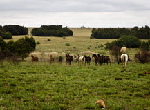 Stud of horses grazing. A stud of horses grazing under the eyes of a watchful rancher stock images
