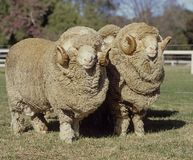 Stud Merino ram. At at a farm in Australia stock image