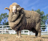 Stud Merino ram. At at a farm in Australia stock photos