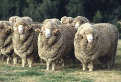 Stud Merino rams. Stud Merino ram at at a farm in Australia.sheep royalty free stock photography
