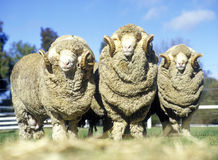 Stud merino rams. On Australian farm stock photography