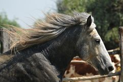 Stud on the run, portrait. Beautiful gray stallion running in the meadow Stock Image