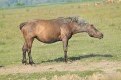 Stud to be in the dust. Stud on the field,freedom Royalty Free Stock Photography
