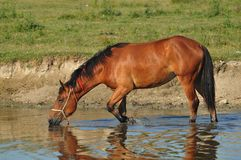 Stud on the watering hole. Wildlife Royalty Free Stock Photos