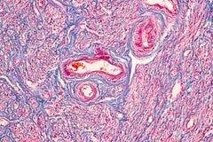 Student het leren anatomie en fysiologie van Eierstok onder microscopisch royalty-vrije stock foto