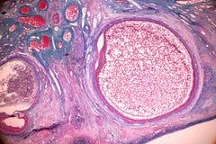 Student het leren anatomie en fysiologie van Eierstok onder microscopisch stock afbeeldingen