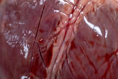 Student learning anatomy raw pig heart for education. stock photography