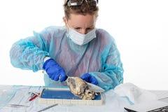 Student medycyny robi anatomii klasom Obraz Royalty Free