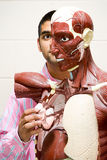 Student using anatomical model Stock Photography