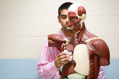 Student using anatomical model Royalty Free Stock Images