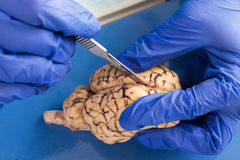Student using a scalpel to dissect a cow brain. Close up of the gloved hands of an anatomy student, veterinarian, medical technologist or pathologist dissecting stock photos