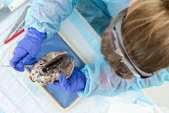 Studente di medicina che esamina un cuore delle pecore Fotografie Stock Libere da Diritti