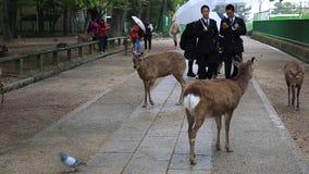 Studenten, die Nara-Rotwild berühren stock video footage