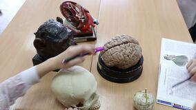 Students study and compare the structure of the human and APE brains on mockups in biology and anatomy classes