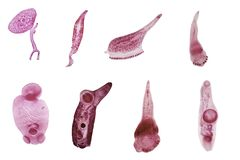 Studie av parasitisk och anatomisk patologi i laboratorium royaltyfria foton