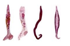 Studie av parasitisk och anatomisk patologi i laboratorium arkivfoton