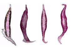 Studie av parasitisk och anatomisk patologi i laboratorium arkivfoto