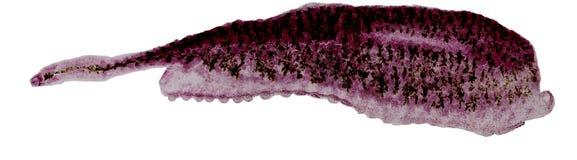 Studie der parasitären und anatomischen Pathologie im Labor lizenzfreie stockfotografie