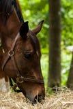 Studie för hästhuvud Fotografering för Bildbyråer