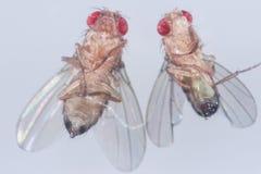 Studie som är genetisk av flugan för Drosophilamelanogasterfrukt, vinägerfluga i laboratorium  royaltyfria foton